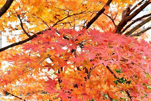 11-12紅葉.jpg