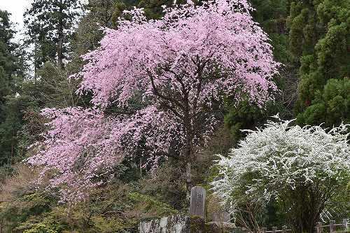 14妙義桜.jpg